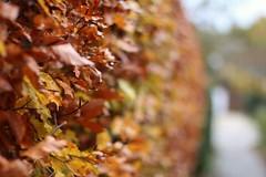 Blues de novembre (RW-V) Tags: canoneos70d canonef50mmf14usm apeldoorn automne herbst herfst autumn fall bokeh couleurs colours farben kleuren foliage ♡ sooc 100faves 120faves 150faves 175faves 200faves 225faves 250faves 275faves 2500views 300faves 325faves