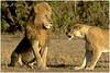 I am the King! (MAC's Wild Pixels) Tags: iamtheking lion malelion pantheraleo kinglion lionking lionpride lioness kingofthejungle kingromeoii sunrise goldenlight goldenhour safari gamedrive nature outdoors outofafrica masaimara maasaimaragamereserve wildlife animal africanwildlife mammal wildafrica simba wildanimal africanlion kenya macswildpixels doublecrosspride ngc npc