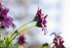 A frozen blue-eyed daisy (lasse christensen) Tags: dsc1537 purpleosteospermumflower spanskmargeritt africandaisy southafricandaisy capedaisy blueeyeddaisy