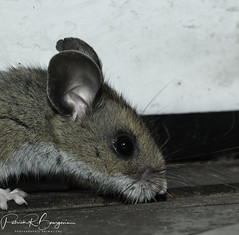 "souris (1 sur 1) • <a style=""font-size:0.8em;"" href=""http://www.flickr.com/photos/124425615@N02/38509011501/"" target=""_blank"">View on Flickr</a>"