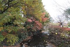 Fall Foliage at Inokashira Park (nakashi) Tags: fallfoliage autumnleave koyo inokashirapark inokashira kichijoji tokyo japan