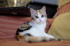 at her 2^day at home .. (KRY ph) Tags: cat cats cute cutecat kitty kitten gatto gattino gatta gattina cucciola pet dolcezza adozione tartarugata occhioni occhi casa divano