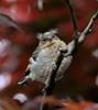 Fringuello pulcinoIMG_0005 (massimocenedese) Tags: pulcino di fringuello animals birdschaffinchvideo