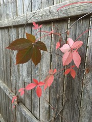 Last bit of Color (arrjryqp6) Tags: touchofcolor pink gray grey oldwood oldfence worn old wood fence leaves fall colour color