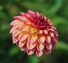 Dahlia (LuckyMeyer) Tags: flower fleur summer garden red yellow makro plant green blüte blume