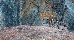 Indian Leopard !!! (Arindam.Bhattacharya) Tags: indian leopard indianleopard pantherapardusfusca rajasthan wildlife indianwildlife bigcats mammals indianmammals incredibleindia bornfree