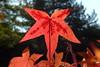 roter Ahorn (marthareichardt) Tags: herbst ahorn laub rot autumn fall acer maple leaf nature blatt macro makro