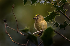 Goldcrest (PINNACLE PHOTO) Tags: goldcrest regulusregulus bird small smallestinuk gold yellow crest
