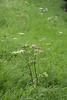 CKuchem-6746 (christine_kuchem) Tags: ackerblumen ackerrand bach bienenweide blumen blumenwiese blühstreifen blüte blüten doldenblütler feldblumen landwirtschaft möhren schmetterlingsblütler uferpflanzen wiese wiesenblume wildblumen weis wild