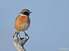 Tarabilla europea (Saxicola rubicola) (1) (eb3alfmiguel) Tags: aves passeriformes insectívoros turdidos turdidae tarabilla europea saxicola rubicola pájaro
