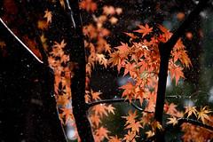 Autumn leaves in snow (kat-taka) Tags: ã¬ãã snow maple red autumn winter japan nature tree leaf snap dark d750 tamron a025 70200 colour stop wonderful japanese tele