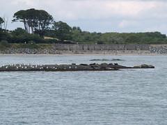 Seals (divnic) Tags: ni northernireland countydown down ards ardspeninsula ardsdistrict ballywalter boroughofards whitkirk sunset sea irishsea clouds beach northchannel uk seal greyseal gulls seagulls