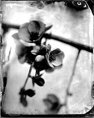 Collodion humide fleurs 2017 - ambrotype, collodion, collodion humide, humide, scann.jpg (Meditant) Tags: collodion scann ambrotype humide collodionhumide