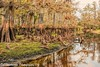 Cypress testing the waters (BobHartmannPhotography) Tags: hartmann landscape swr nature fisheatingcreek bobhartmanncom 365 bcc201401 bobhartmannphotography wildlife wwwbobhartmanncom hiking everglades 1365 bobhartmann c2017bobhartmann fl usa