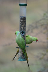 Ring-necked Parakeet (James L Taylor) Tags: psittacula krameri rspb sandwell valley 21217 ringnecked parakeet bird birding nature indian roseringed manillensis
