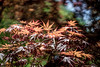 Japanese maple (kderricotte) Tags: helios40285mm15 vintagelens bokeh depthoffield sony sonya7ii japanesemaple tree plant outdoor