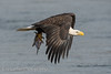 Eagle WIth A Fish (Eric Gerber) Tags: explore baldeagle bird birds eagle eagles ericgerber fish flying nature photography raptor river wild wildlife