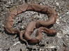 Osage Copperhead (Agkistrodon contortrix phaeogaster) (cowyeow) Tags: american america snake usa nature wildlife herp herping herpetology reptile missouri woodlands venomous pitviper viper danger dangerous osage copperhead agkistrodoncontortrixphaeogaster osagecopperhead agkistrodon contortrix agkistrodoncontortrix phaeogaster