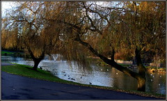 Willows by water (* RICHARD M (Over 7 MILLION VIEWS)) Tags: willows willowtrees weepingwillows salx sallows osiers trees branches water lake salix vegetation paths pathways november autumn autumnal fall scapes heskethpark parks publicparks parkland woodland nature fountains southport sefton merseyside england unitedkingdom uk greatbritain britain britishisles birds