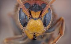 hornet (Kuvvet) Tags: bee beemacro hornet macro macrophotography macrodreams bug insectmacro insects