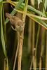 L'agile rousserolle (Maxime BEAUJEON) Tags: rousserolle effarvatte roseaux roselière oiseau oiseaux roseau roselières acrocephalus scirpaceus