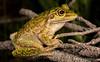 Motorbike Frog (Litoria moorei) (JLoyacano) Tags: australia frog jacobloyacano wa westernaustralia amphibian animal anura anuran herp herping litoria litoriamoorei motorbikefrog perth wildlife