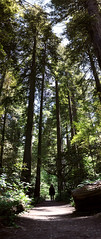 Just a Small Part of It All (Miss Marisa Renee) Tags: marisarenee digital canon canon5dmarkii digitalphotography forest woods trees redwoods california summer summer2017 green mywork sunlight sunny morning morninglight panorama panoramic vertical verticalnature