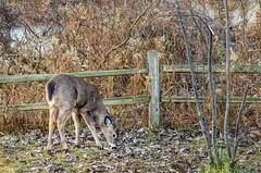 Just A Little Deer... (Wes Iversen) Tags: fencefriday hff harrisontownship lakestclairmetropark michigan nikkor24120mm animals autumn deer doe fence leaves mammals trees whitetaileddeer wildlife