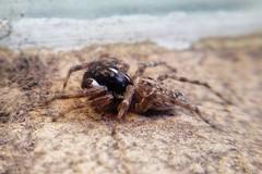La araña de mi patio! (Wal Wsg) Tags: 7dwf phwalwsg araña spider mundoanimal animalworld