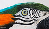 Arara (Vera Schuck Paim) Tags: zebra tucano arara macaw stripes toucan black white close up green orange blue aves brasileiras brasilien birds