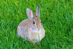 Anglų lietuvių žodynas. Žodis cottontail rabbit reiškia cottontail triušis lietuviškai.