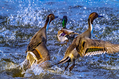 Northern Pintails (Chatham Sound) Tags: britishcolumbia canada 124 victoria vancouverisland