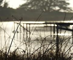 Solitude (claire costigan hintze) Tags: water bokeh corcoranlagoon weeds nikonp900