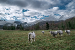 Cows look at the mountain (Marc Andreu) Tags: vache animal nature prairie eglise village oust mane light lumiére outdoor extérieur country cow horn corne bovin paysage champ meadow arbre tree troupeau herd agriculture grass herbe rural campagne countryside ciel nuages field boeuf beef