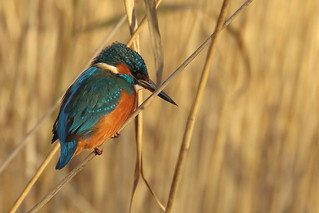 Kingfisher_339A7456