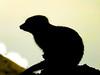 Meerkat Silhouette (tubblesnap) Tags: meerkat meerkats chester zoo silhouette cute fur furry fuji xs1 tubblesnap sentry guard