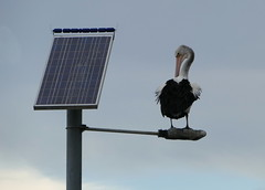 Solar Powered Pelican... (The Pocket Rocket, On and Off.) Tags: australianpelican pelecanusconspicillatus barwonriver oceangrove bellarinepeninsula victoria australia