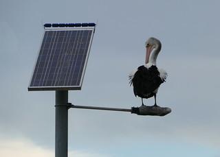 Solar Powered Pelican...
