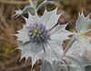 Sea Holly (juliam23) Tags: sea holly grey lilac holkham beach norfolk uk sand dunes canon eos60d beautiful spikes nature