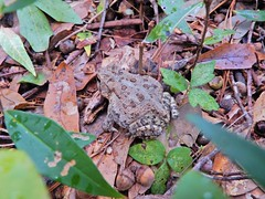 amphibian toad Nags Head Woods ncwetlands KG (54) (ncwetlands.org) Tags: saltmarsh ncwetland ncwetlands northcarolina gumswamp pond barrierisland interdunewetland swailwetland roanokesound tidalmarsh