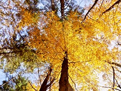 Autumn (BlueisCoool) Tags: flickr foto photo image capture picture photography nikon coolpic l330 tree plant serene color colors pretty bright vivid gold golden beautiful leaf leaves foliage autumn fall outdoor outdoors nature massachusetts goldenautumn autumncolors newenglandautumn plainvillemassachusetts newengland