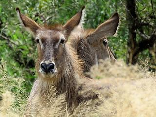 Waterbok / Water buck