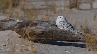 Snowy Owls of New Jersey | 2017 - 13