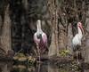 Cousins (tfhammar) Tags: ibis roseate spoonbill hillsborough river kayaking