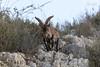 IMG_2472 (Pedro del Prado) Tags: cabramontés cerrogordo espaciosnaturales fauna mamiferos torrox