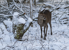 Looking for Mum (stevedphotouk) Tags: deer snow winter chasewater chasewaterrailway staffordshire snowuk