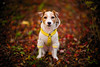 Dog Sitting on the Ground with Autumn Swirl (moaan) Tags: kobe hyogo japan jp dog jackrussellterrier autumn fall autumncolors autumnleaves fallenleaves fallcolors dof bokeh bokehphotography utata 2017 leica mp leicamp type240 noctilux 50mm f10 leicanoctilux50mmf10