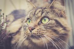 Dame Mystic (Kimoufli) Tags: mystic animal chat cat gato gatto kitty kitten katt katsi katze animaux animaldecompagnie fauve yeux oeil oeildechat doux rétro portraitdechat poétique poesie