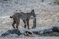 lince cazando conejo (barragan1941) Tags: adamuz fauna felinos lince mamiferos