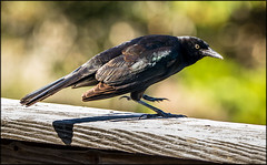 Grackle on the Porch (MurrayH77) Tags: nc obx frisco hatteras island bird grackle